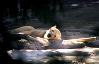 Polar Bear Snoozing