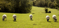 Five Sheep