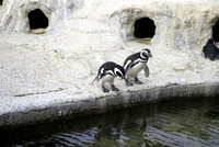 Penguins About to Take the Plunge