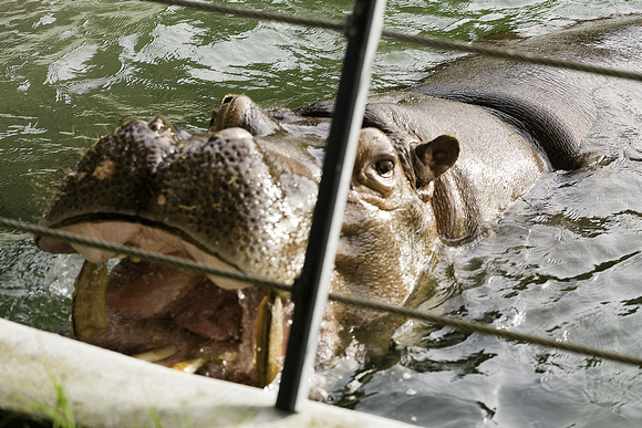 Hippo Expressing Himself